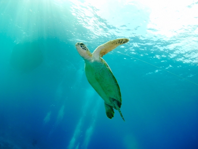 ウミガメと一緒に水中ウォーキングをする俺の写真。